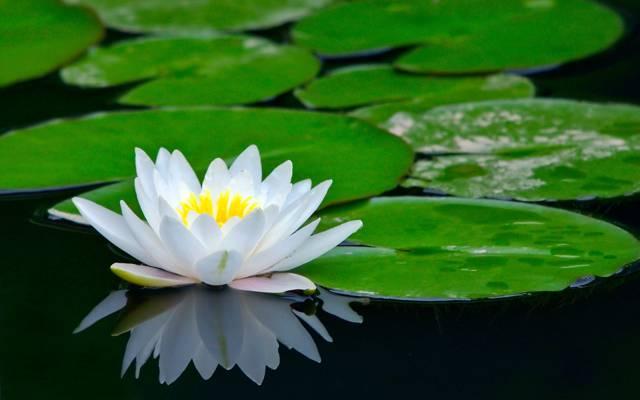 荷花,莲花,池塘,花卉