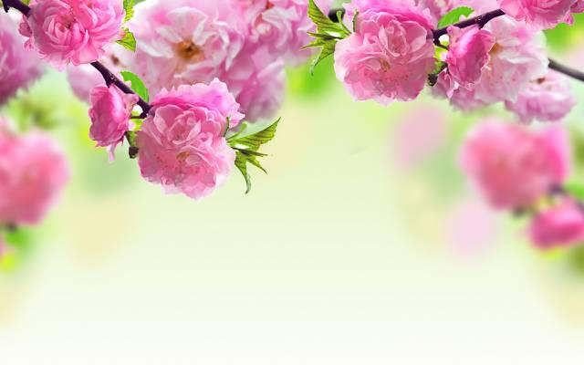 壁纸花,粉红色,分支机构,春天,开花
