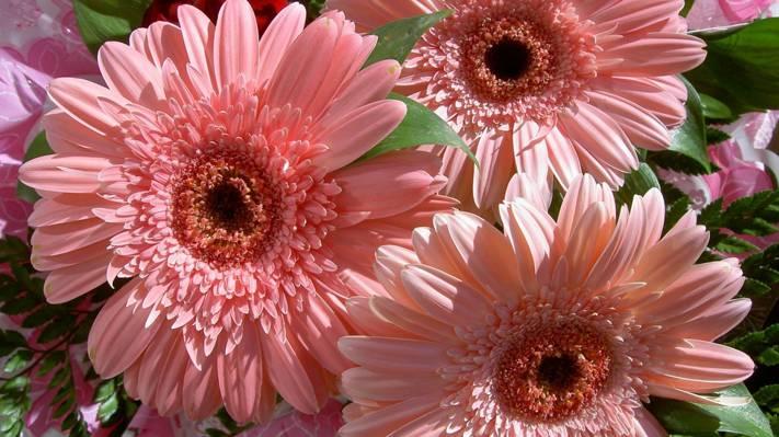 鲜花,花束,性质,花,温柔,美丽,粉红色,非洲菊