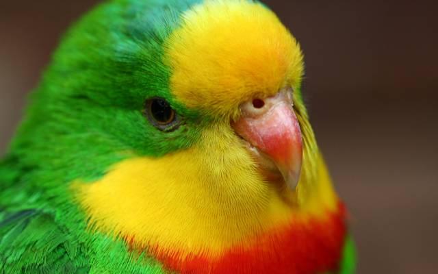 鹦鹉,鸟,鹦鹉,漂亮,鸟