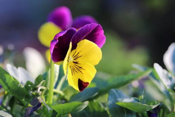 紫色和黄色petaled花在特写摄影,紫罗兰高清壁纸