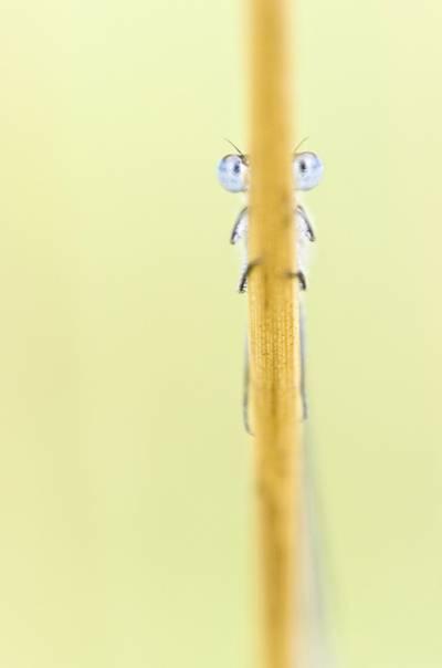 蜻蜓栖息在棕色的叶子在宏观摄影,豆娘高清壁纸