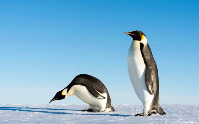两个白色和黑色的企鹅高清壁纸的照片
