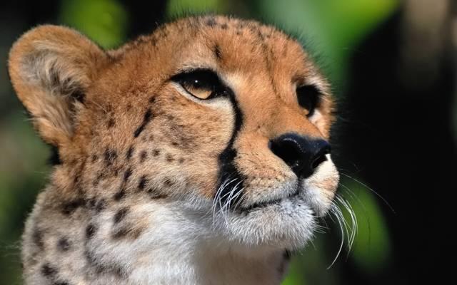 小胡子,猎豹,捕食者,脸,看起来