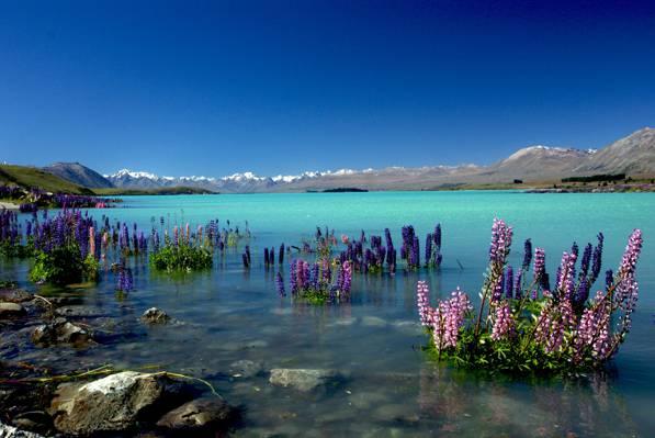 在平静的身体与棕色作为背景,羽扇豆高清壁纸紫色pallled花