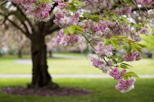 树,分支,樱花