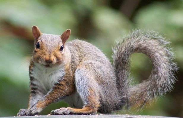 棕色松鼠高清壁纸浅焦点摄影