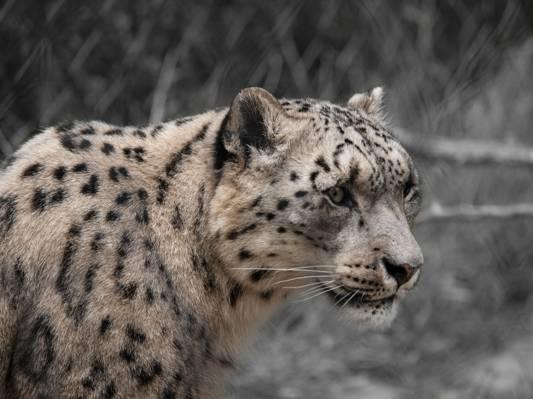 猎豹动物,豹高清壁纸