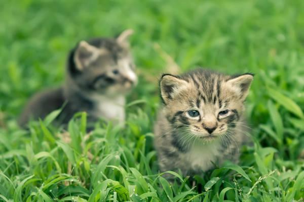 百慕大草高清壁纸上的两只银虎斑小猫