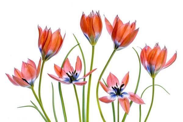 鲜花,浅色背景,郁金香