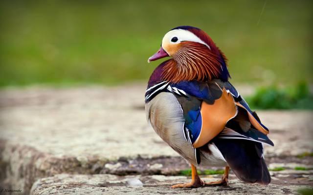 鸭子,橘子,鸟