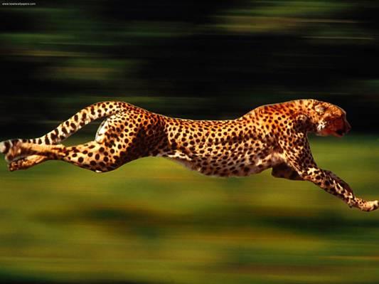 豹高清壁纸的选择性照片