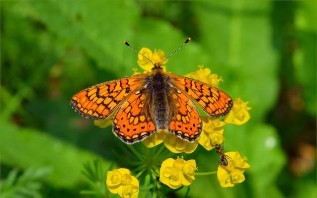 蝴蝶,蝴蝶,鲜花,宏,春天,蚂蚁,春天,宏,鲜花