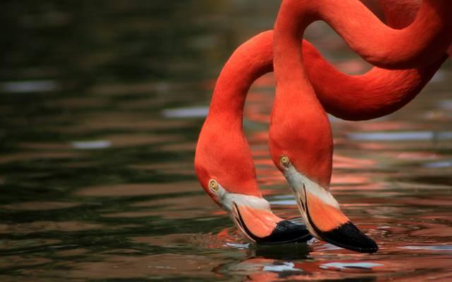 脖子,火烈鸟,二重奏,水,鸟类