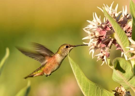 嗡嗡的鸟和花,红褐色的蜂鸟,seedkadee国家野生动物保护区高清壁纸浅焦点摄影