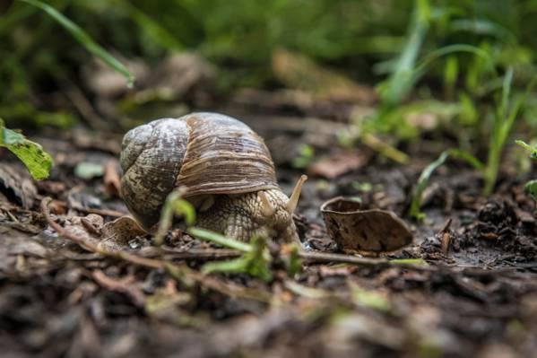 褐色的土壤上,棕色的蜗牛,在特写照片高清壁纸的绿草