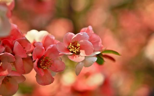 分公司,粉红色,盛开,樱花