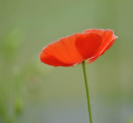 盛开的红色花,红色罂粟高清壁纸的特写照片