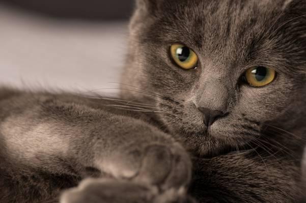 看,Koshak,雄猫,眼睛,猫