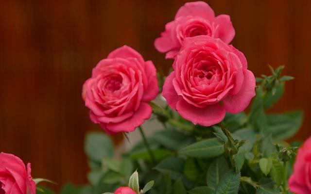 背景,玫瑰,芽