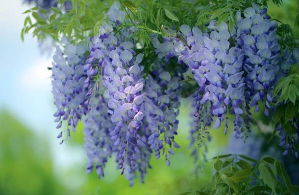 鲜花,紫藤,紫藤