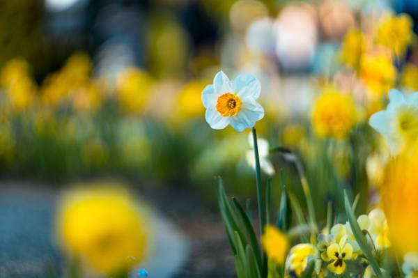 白色和黄色选择聚焦摄影pallled花HD wallpaper