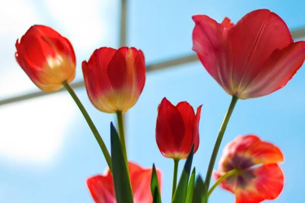 红色的花朵,郁金香高清壁纸