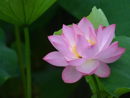 Lotos,莲花,粉红色,粉红色