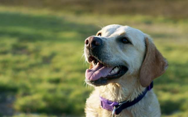 狗,领域,背景
