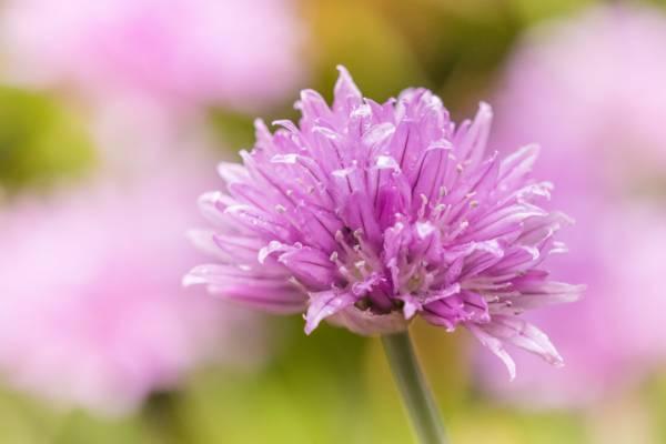紫色的花瓣花高清壁纸的特写摄影