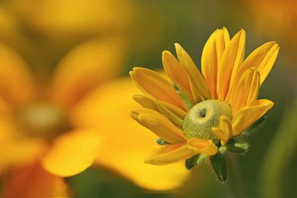 美丽的金光菊