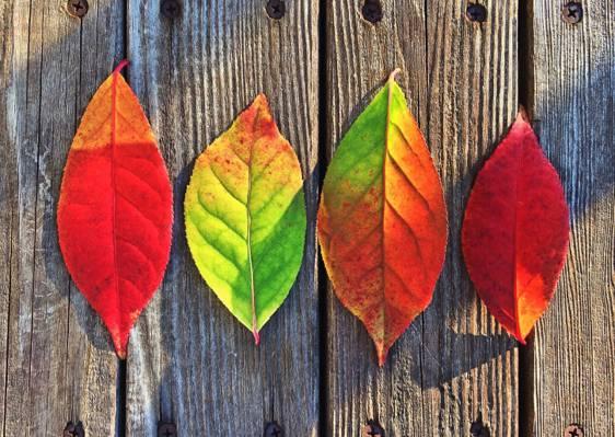 两片红叶,一片绿叶和一片橙叶绿叶的高清壁纸