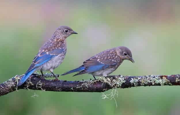 壁纸鸟,分支,东sialia,一对夫妇