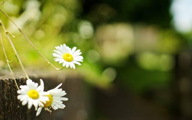 花,甘菊,宽屏,模糊,高清壁纸,壁纸,绿色,全屏,花,背景,黛西,宽屏,花,...  -