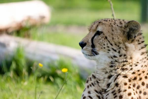 猎豹,捕食者,脸,配置文件