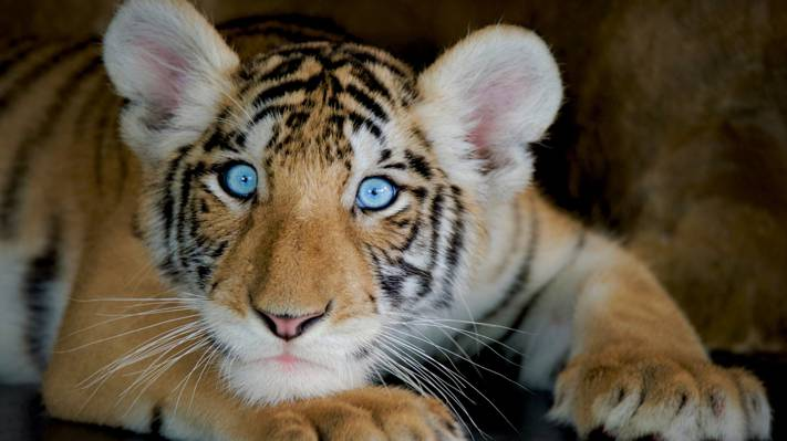 呆萌的老虎