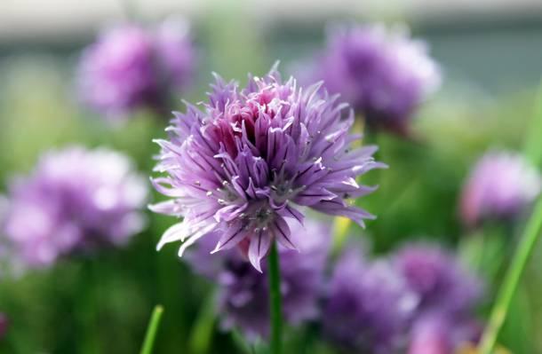紫色选择性的照片簇花高清壁纸