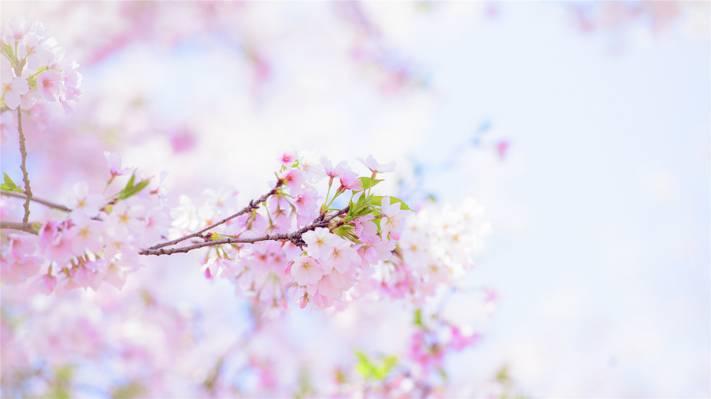 武汉樱花满枝桠