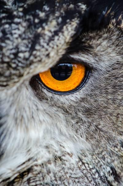 灰色的猫头鹰显示橙色和黑色的左眼高清壁纸