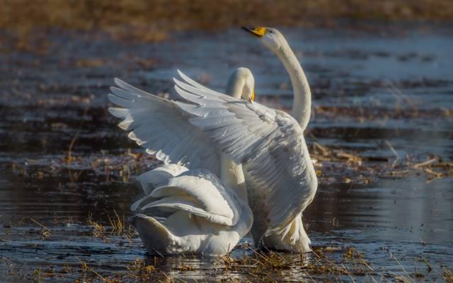 对,池塘,翅膀,恩典,天鹅
