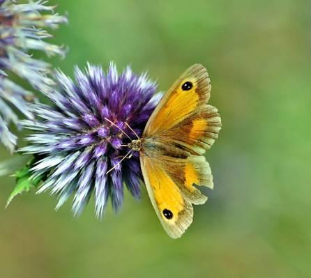 棕色的蝴蝶降落在紫色的小花,全球蓟高清壁纸