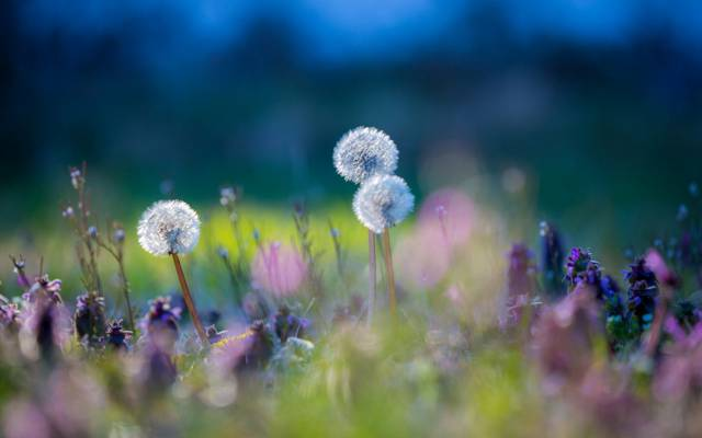 花,蒲公英,草,草地,植物
