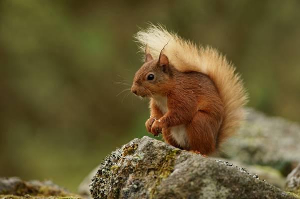 集中摄影的棕色松鼠站在棕色的摇滚高清壁纸
