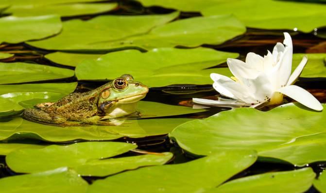 青蛙睡莲垫高清壁纸
