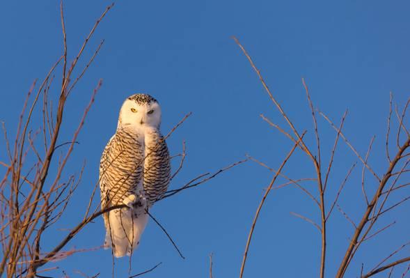 鸟,雪ow,树枝,天空,猫头鹰