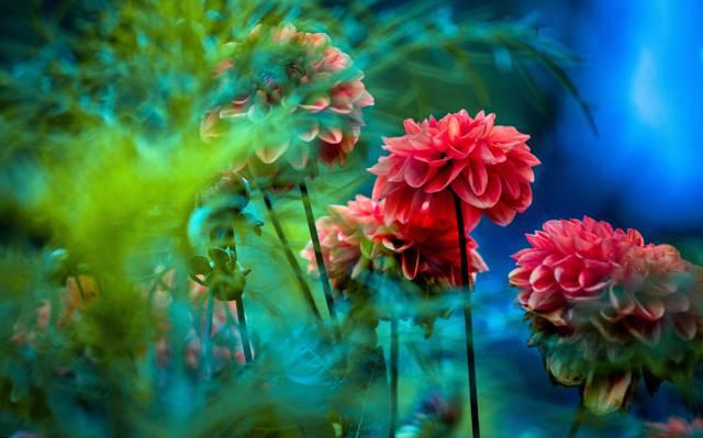 蓝色,蓝色,绿色,叶子,模糊,大丽花,红色,背景,鲜花