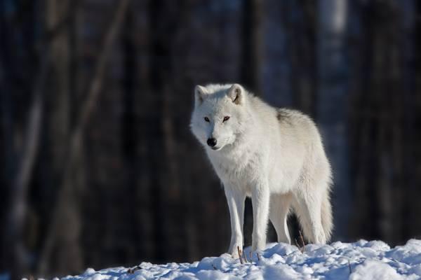 雪,雪,白狼,白狼,散景,眼睛,眼睛,散景