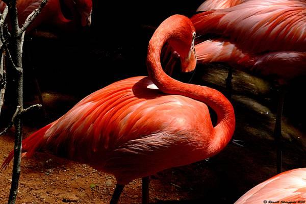 野生动物摄影组的火烈鸟高清壁纸