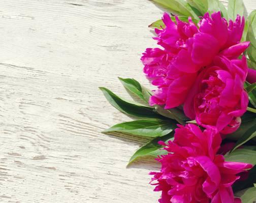 美丽,粉红色,木材,牡丹,粉红色,鲜花,牡丹