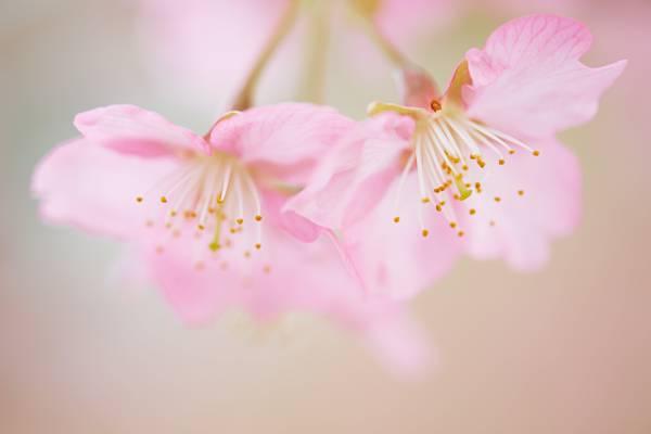 微型摄影的粉红色的花朵高清壁纸